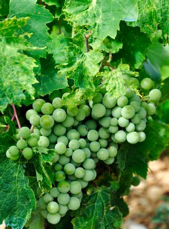 moka-vigne