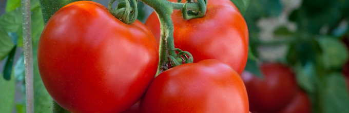 tomate-h