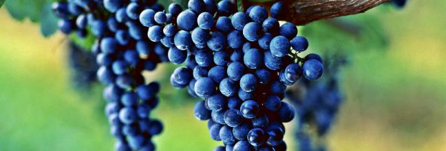 vigne-h