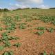 Crédit photo : L Jung – Terres Inovia « Changement climatique : quelles conséquences pour le colza ? »