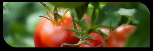 moka-tomato